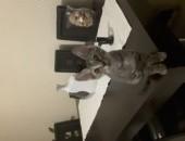 Sfinks doński z wlosami,  śląskie Siemianowice Śląskie