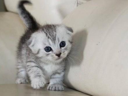 Kocięta Munchkina (krótkie nogi)