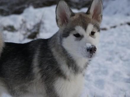 Rodowodowe szczenięta szczeniaki Alaskan Malamute - ZKwP i FCI