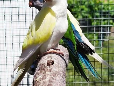 Mnicha nizinna mnichy nizinne papuga papugi łatwo sie oswajają i można nauczyć je mówić