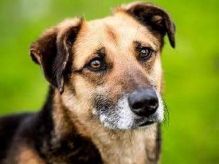 Walik dorosły pies kochający pieszczoty :-)   świętokrzyskie Kielce