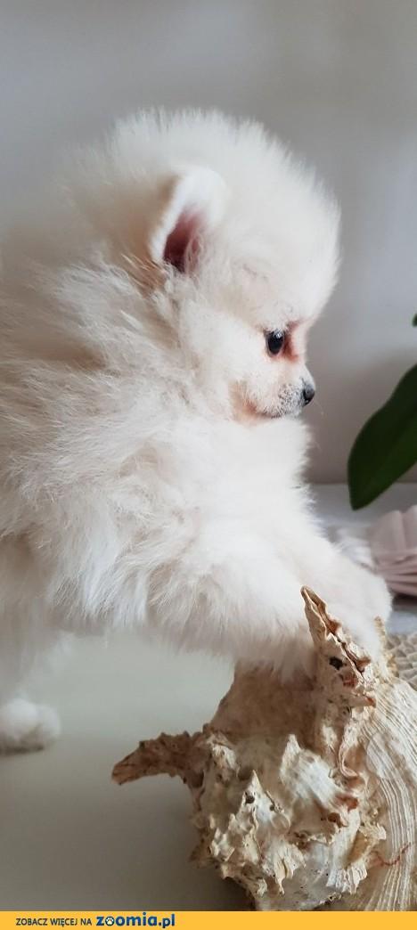Piekny Pomeranian