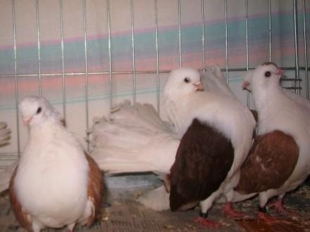 Gołębie Rostowskie