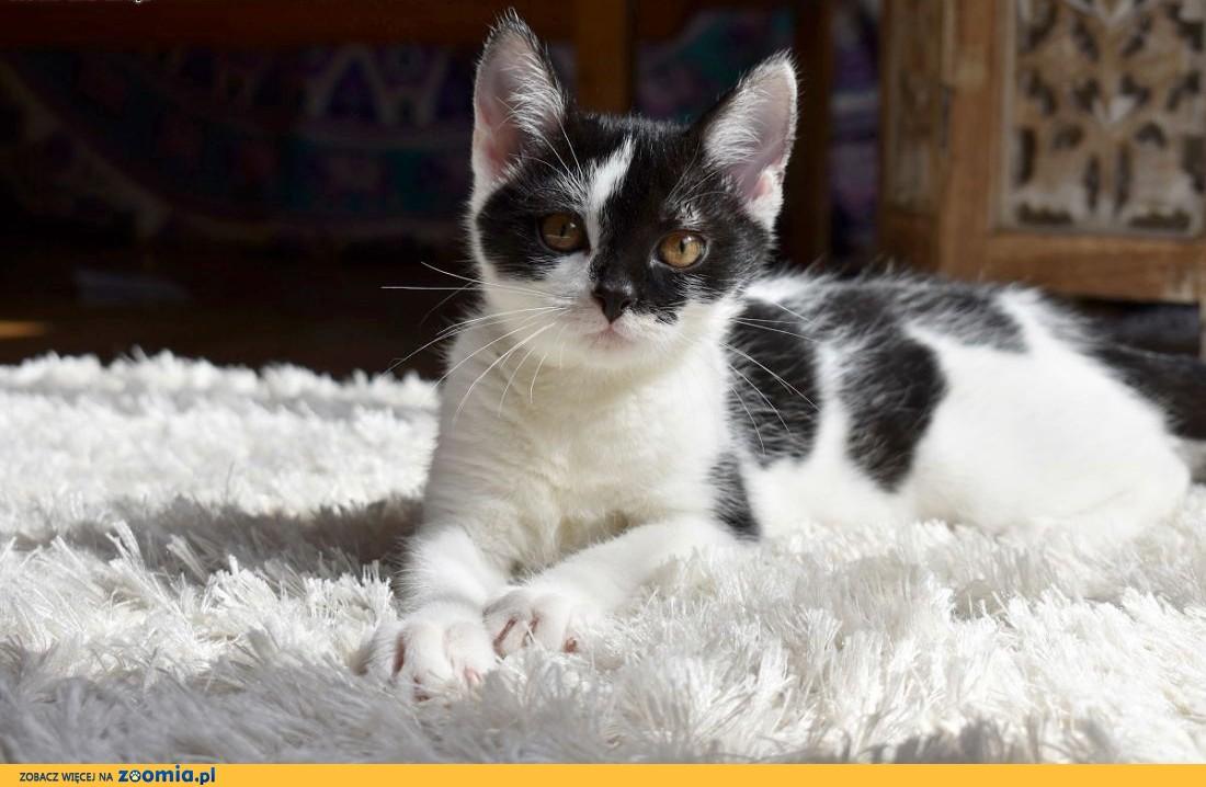 Celinka - mrucząca rezolutna kotka czeka na dom ,  śląskie Wodzisław Śląski