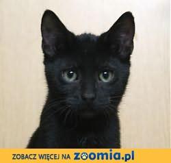 Czarne kocięta szukają domów!