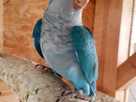 Mnicha nizinna mnichy nizinne papuga papugi młode do oswojenia można nauczyć je mówic jak i dojżałe pary papuga papugi