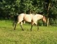 Quarter Horse ogier