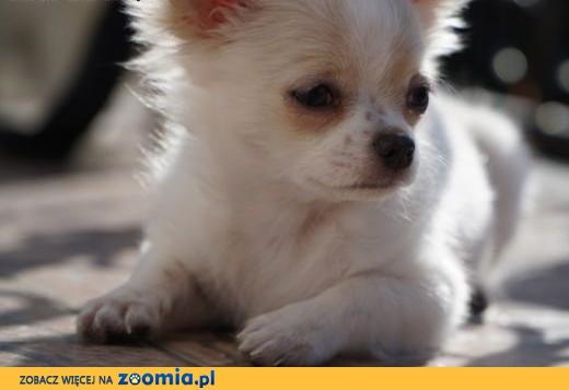 Chihuahua suczka, szczeniak, rodowód ZkwP/FCI,  opolskie Opole