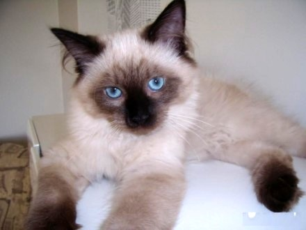 Kociaki Syberyjskie NEVA MASQUARADE z rodowodem
