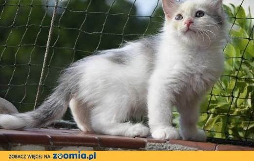 Kot Syberyjski Ogłoszenia Z Hodowli Koty Syberyjskie Zoomiapl Pl 1