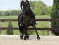 'Koń fryzyjski, ładna 4-letnia klaczka potrzebuje nowego domu,  łódzkie Bełchatów