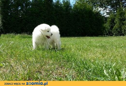 Sprzedam szczeniaki rasy Samoyed,  śląskie Katowice