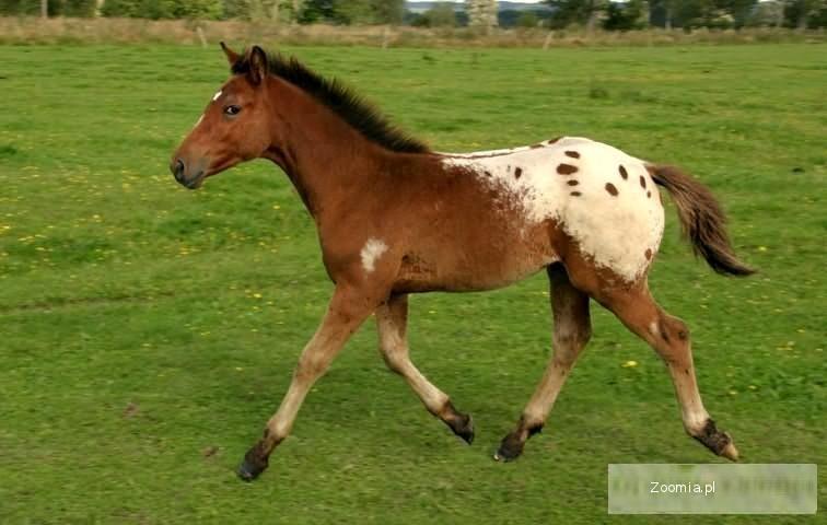 Tombak kuc D, tarant, pony