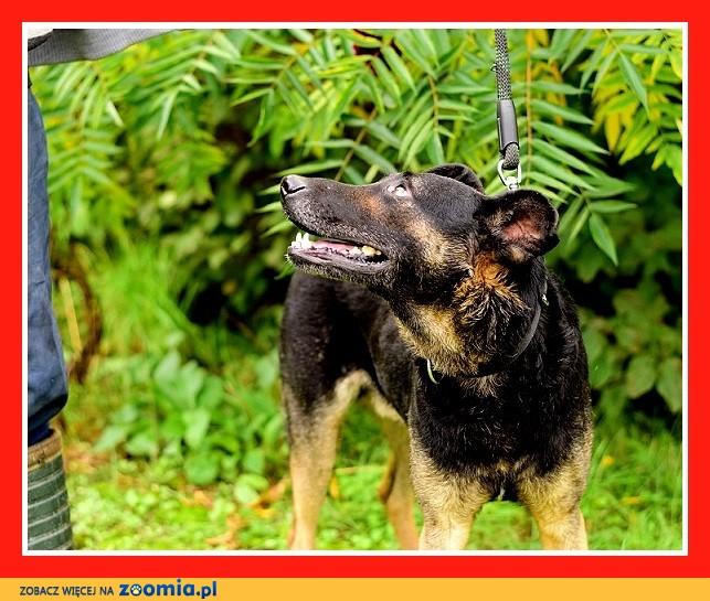 UWAGA! Nieufny do ludzi,stróżójący,czujny pies HEKTOR_Adopcja