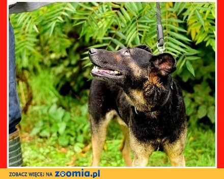 UWAGA! Nieufny do ludzi stróżójący czujny pies HEKTOR_Adopcja