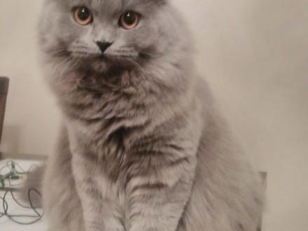 Kotki brytyjskie szukają właścicieli