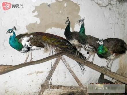Pawie Niebieskie Indyjskie  Glinik