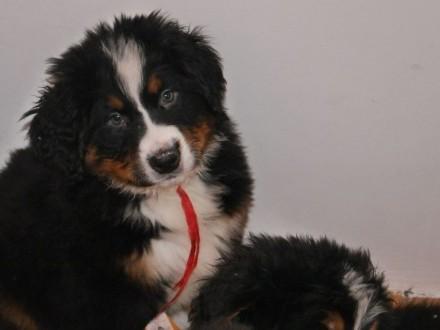 berneński pies pasterski ZKwP- piękne  wzorowo umaszczone  super wychowane 10-tyg pieski - Katowice