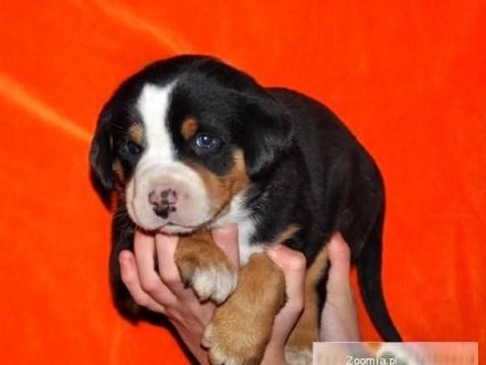 Duży Szwajcarski Pies Pasterski piesek ur20 stycznia