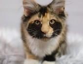 Rozmruczana kotka maine coon, rodowód WCF