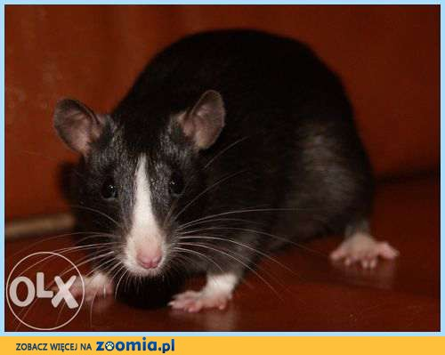 szczurki ,szczury, szczur, szczurek