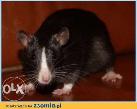 szczurki  szczury  szczur  szczurek