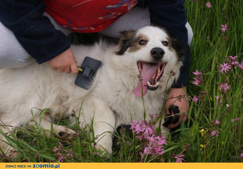 Niewielki Amor, przepiękny psiak marzy o tym że go adoptujesz