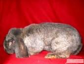 Sprzedam króliki różnych ras