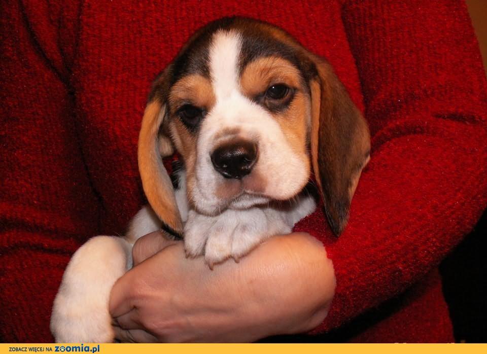 Piękny szczeniak beagle z rodowodem ZKwP (FCI)