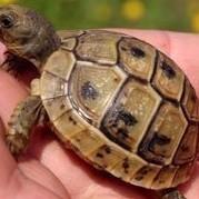 żółw  żółwie hermanna i stepowe