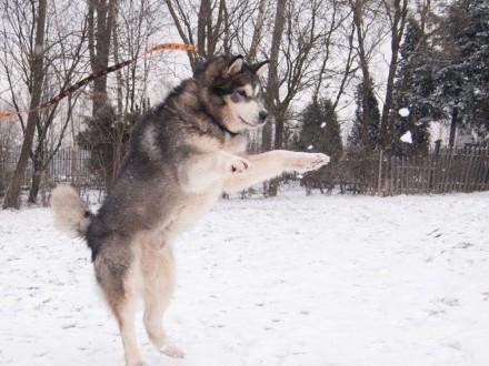 AXEL-malamut- idealny psiak dla znawcy rasy