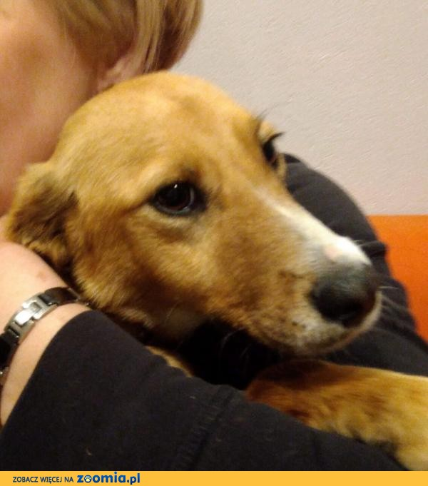 Lola, psie dziecko, delikatna, wspaniała sunia, rudy lisek do adopcji!