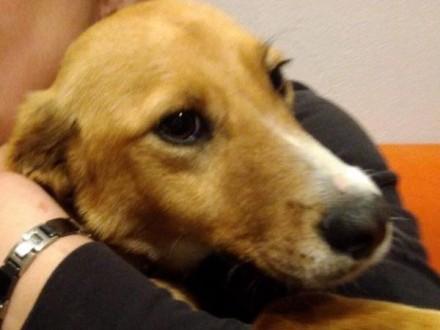 Lola  psie dziecko  delikatna  wspaniała sunia  rudy lisek do adopcji!