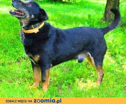 KABANOS - pies wyjątkowy, kocha ludzi, dzieci; do adopcji,  małopolskie Kraków