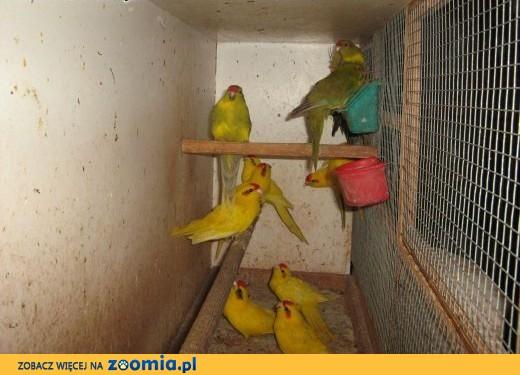sprzedam papugi kozie i świergoty,  Papugi inne cała Polska