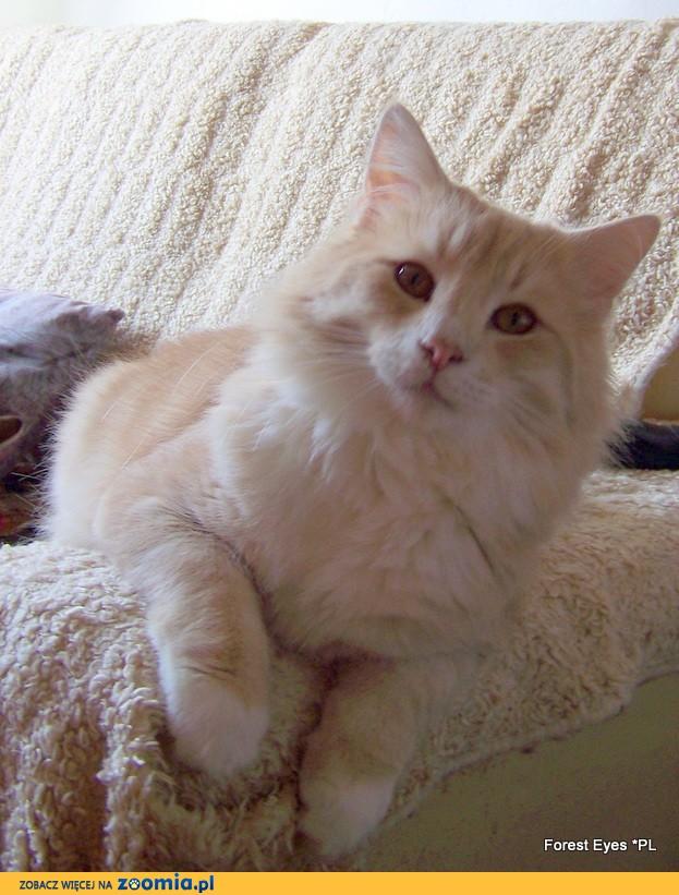 Kot Norweski Leśny Ogłoszenia Z Hodowli Koty Norweskie Leśne