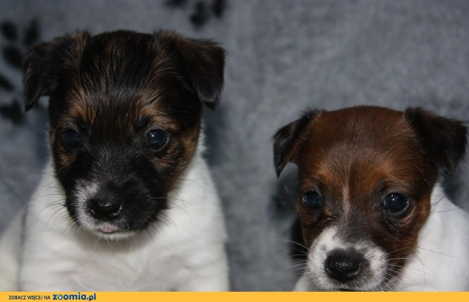 Jack Russell Terrier śliczne z rodowodem FCI