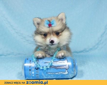 Szpic Miniaturowy Pomeranian sliczne szczenieta