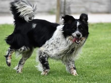 RUBIN wspaniały pies w typie bordera szuka kochającego domku