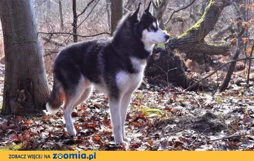 Oskar, husky szuka domu,  łódzkie Łódź