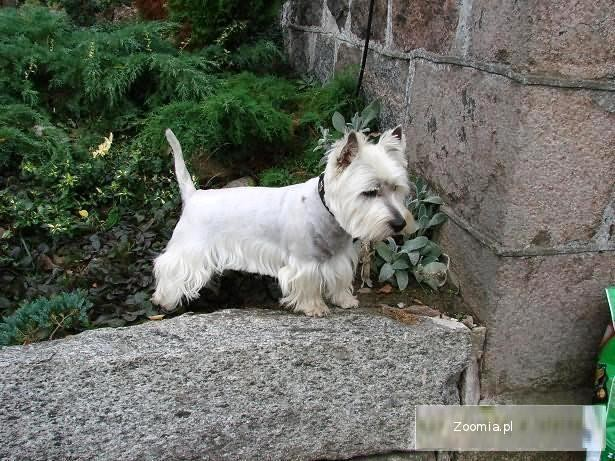 West Highland White Terrier PIEKNE
