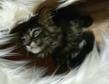 sprzedam koteczkę Maine Coon z rodowodem Fife