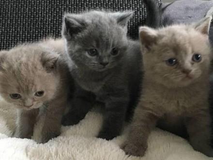 Slodkie brytyjskie krótkowłose kociaki