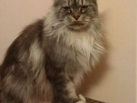 Maine Coon kotka  Okazja !!!   dolnośląskie Oława