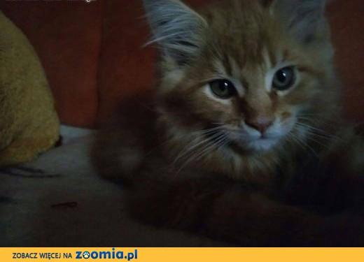 Maine Coon kochane kociaki,  dolnośląskie Wrocław