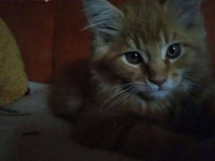 Maine Coon kochane kociaki   dolnośląskie Wrocław