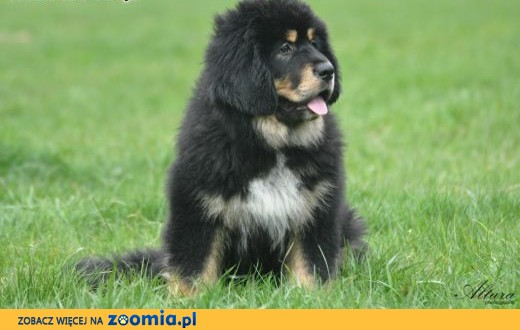 Mastif tybetański szczenieta FCI,  podkarpackie Sanok