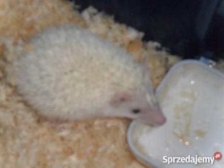 jeż pigmejski samczyk reproduktor