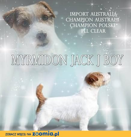 Utytułowany import z AUSTRALII Jack Russell Terrier REPRODUKTOR