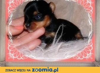 York, yorkshire terrier! ELITARNE, MICRO CUDEŃKA XXXS.,małopolska,  małopolskie Kraków
